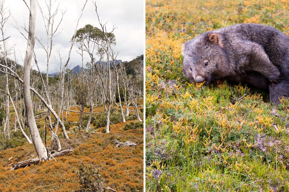Cradle Mountains flora &  fauna.