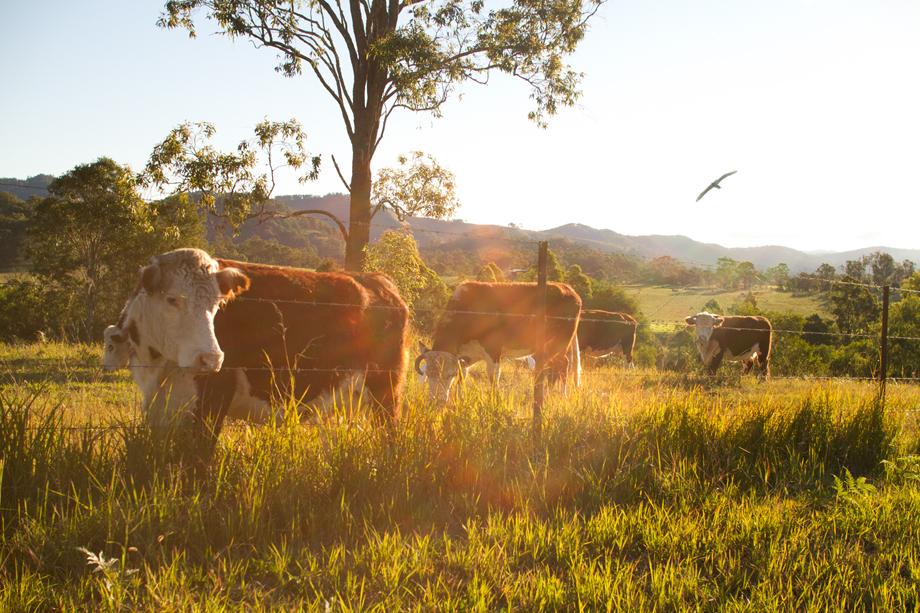 Mum's cattle.